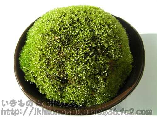 半年ほどすぎたトウカイコモウセンゴケ用苔玉