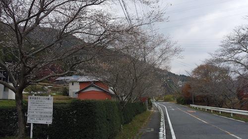 8四季桜?