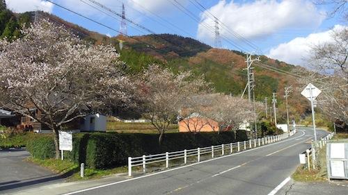 12四季桜