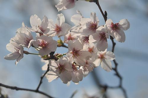 sakura-120401-01.jpg
