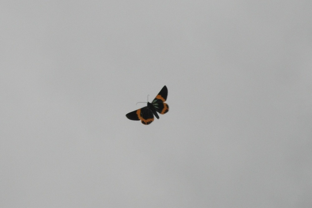キオビエダシャク 2012.01.10 1300