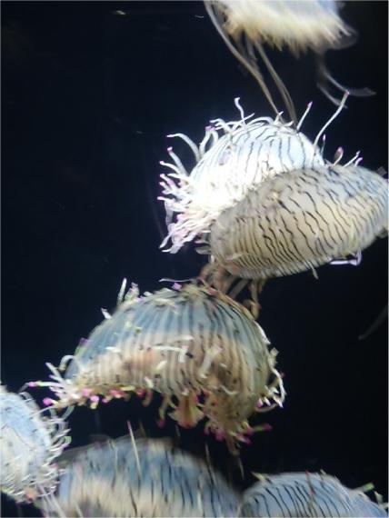 ハナガサクラゲ