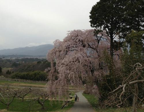 吉瀬しだれ桜3