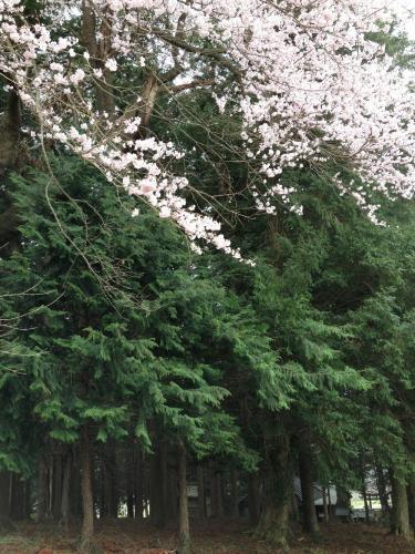 吉瀬諏訪社の桜1