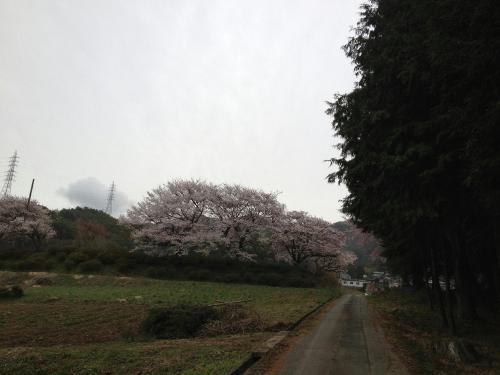 吉瀬諏訪社の桜2