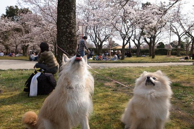 見上げる先には桜?