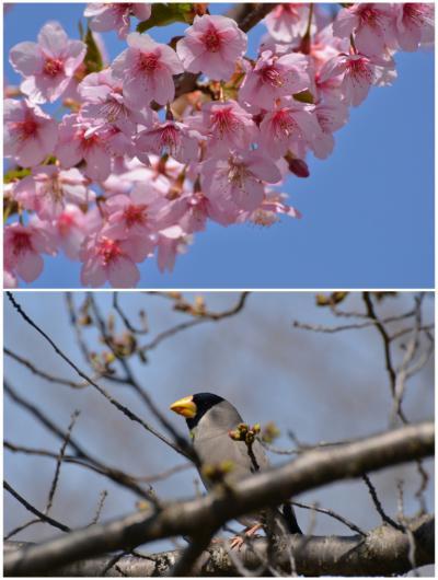 河津桜画像1