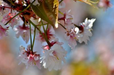 奈良九重桜(2)