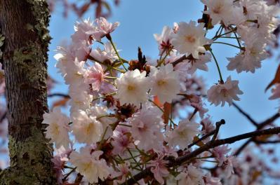 奈良九重桜(1)
