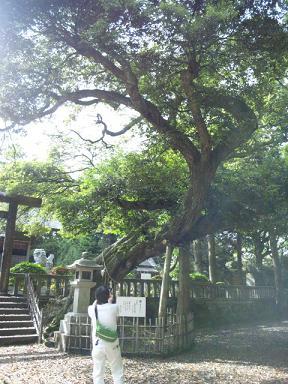 莫越山神社★ご神木(スダジイ)