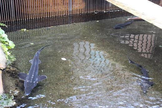 大王わさび農園:サメ