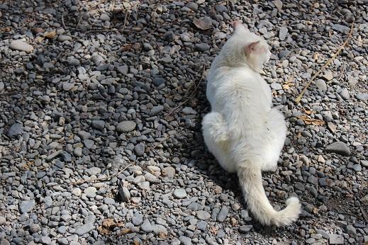 大王わさび農園:白猫