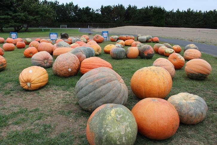 2014国営ひたち海浜公園:オバケかぼちゃ
