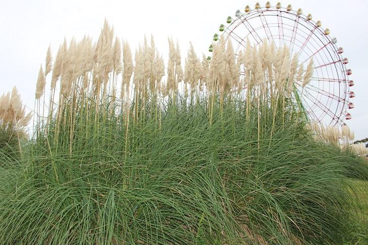 2014国営ひたち海浜公園:パンパスグラス2 観覧車