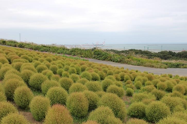 2014国営ひたち海浜公園:みはらしの丘 コキア 緑2