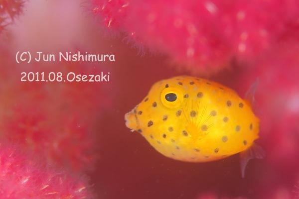 201108_ミハミハコフグ幼魚