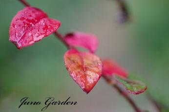 ヒメツルソバ紅葉