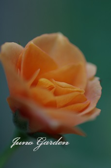 ミニバラ2014オレンジ