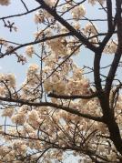 お花見201301