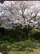 お庭の桜20130228