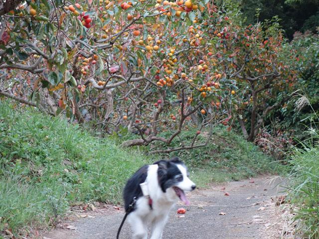 柿がいっぱい