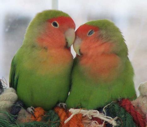Love-Birds.jpg