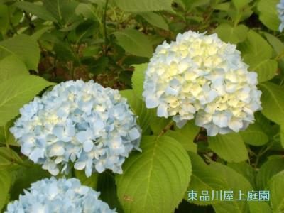 ajisai3_20130530122924.jpg