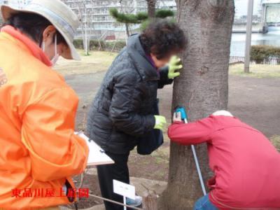 sakurakeisoku2_20130404163405.jpg
