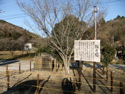 2013.1.31 鎌足桜の手入れ(柵) 027