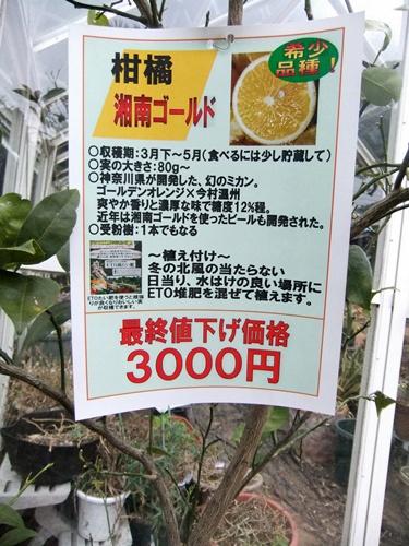 2013.2.4 みかん苗(湘南ゴールド) 009