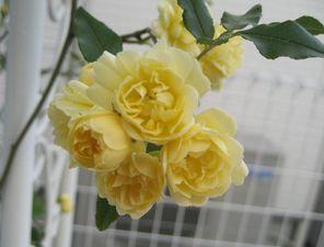 黄モッコウバラ八重4