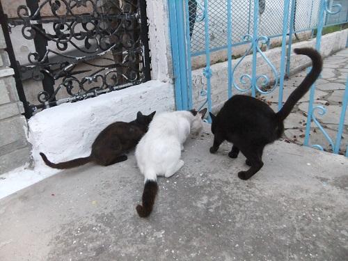 タソス_プリノスで猫給食