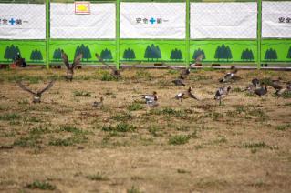旧東海道:馬入川橋梁下で飛び立つヒドリガモの群れ