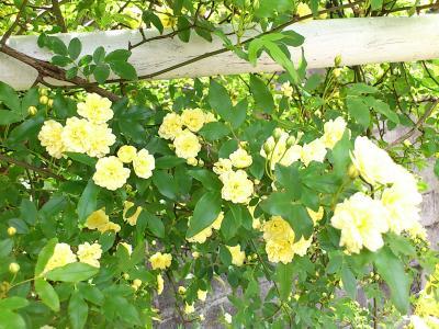 黄色の小バラ