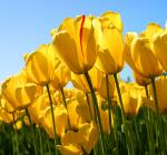 Tulips_convert_20120422223613.jpg