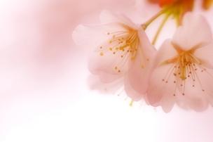 sakura_20120408025634.jpg