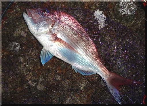 20130609 真鯛