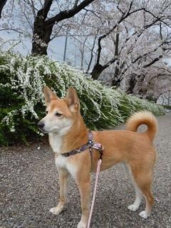 桜 遊歩道