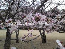 道後公園 桜 2