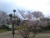 道後公園 桜 3