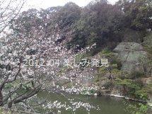 道後公園 桜 5