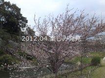 道後公園 桜 6