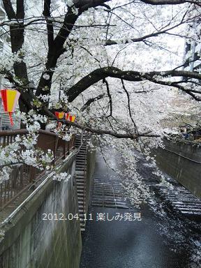 目黒川に散る桜
