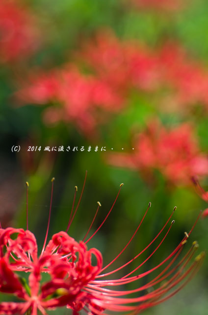 2014年9月 服部緑地・都市緑化植物園の彼岸花2