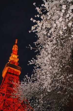 DSC04916桜東京タワー