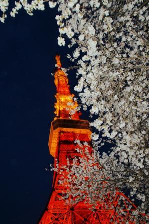 DSC04911桜東京タワー
