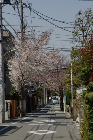 DSC05096住宅街の桜