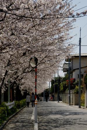 DSC04949住宅街の桜