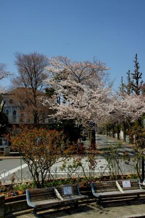 DSC04925住宅街の桜