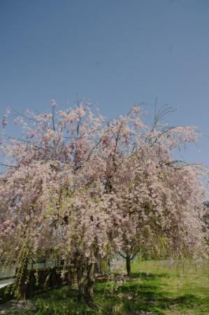 DSC06337枝垂桜